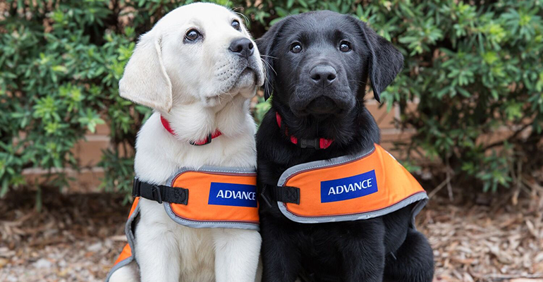 Guide Dogs Named Australia's Most Trusted Charity Brand   PBA